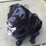 Black dog called Maya who was highly commended in the youngerdog Competition