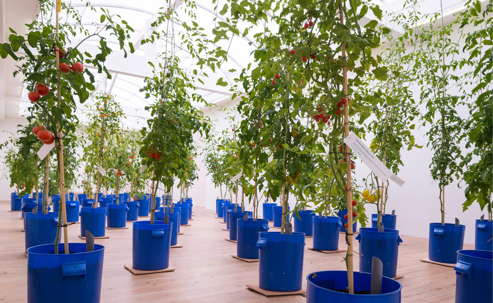 Uli Westphal, Transplantation, 2014, sight specific installation at SMBA, Amsterdam, The Netherlands, 61 sub-irrigated planters, soil, bamboo, tomatoes, dimensions variable,  © Uli Westphal