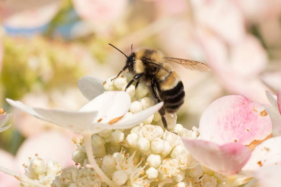 New York Times: A Bumblebee Gets New Protection on Obama's Way Out