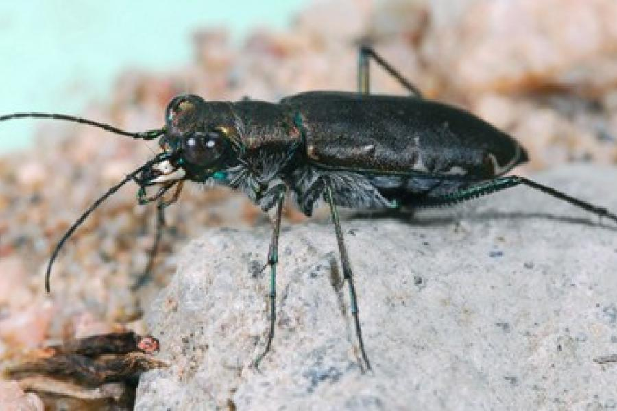 Beneficial Beetle Diversity Blooms on Strip-Tilled Farms