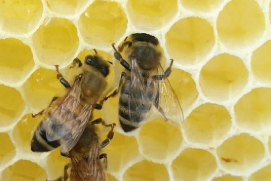 Exposure to High Numbers of Pesticides Linked to Honey Bee Deaths