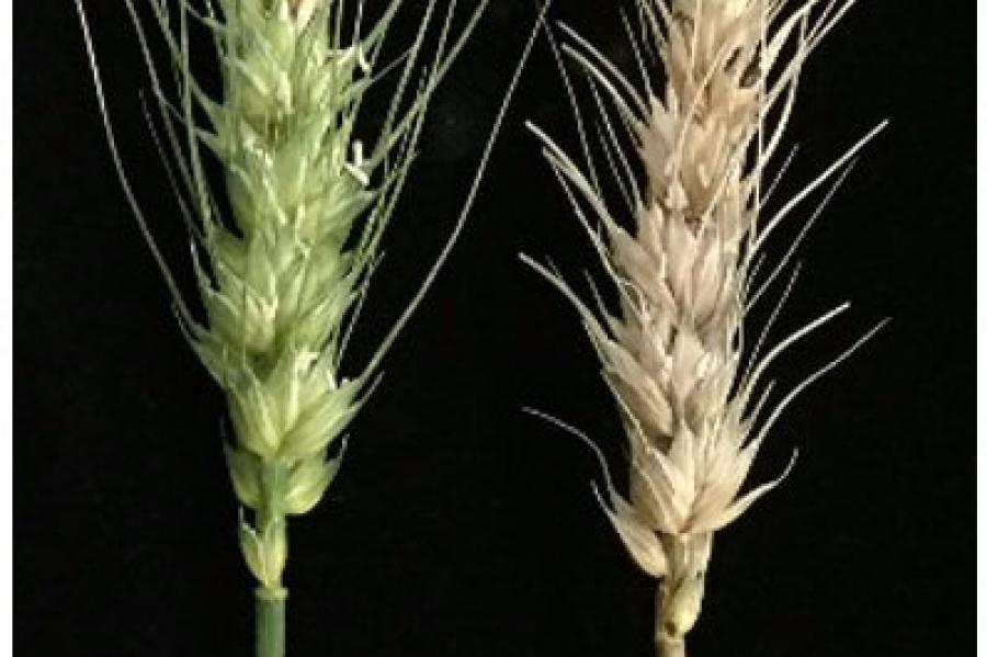 Fhb1 Gene Providing Resistance to Fusarium Graminearum in Wheat Cloned
