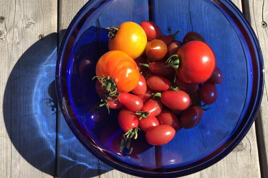 How to save your garden tomatoes after a fall frost | This...