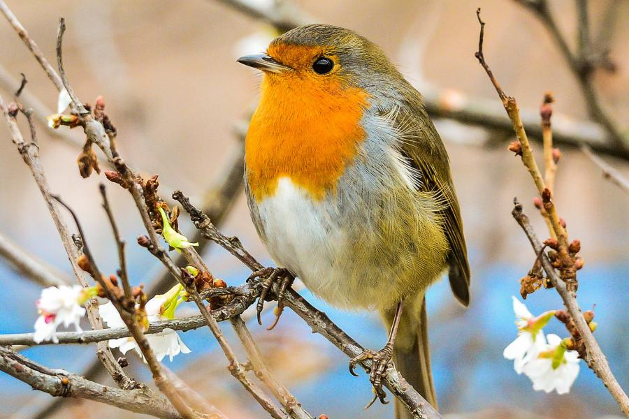 'More than 800,000 songbirds illegally killed' on British...