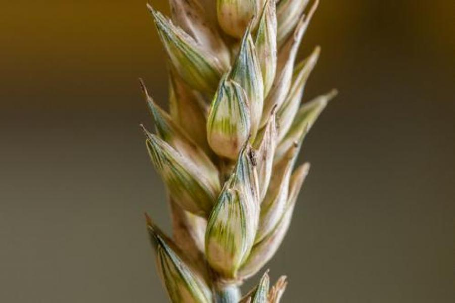 UMD Plant Scientist Identifies Gene to Combat Crippling Wheat Disease
