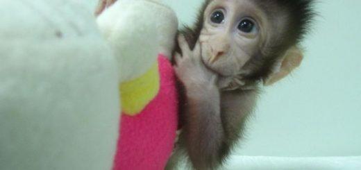 Le clonage des premiers primates en Chine a plus provoqué un haussement d'épaules qu'une indignation collective. Le clonage des animaux est entré dans les moeurs.