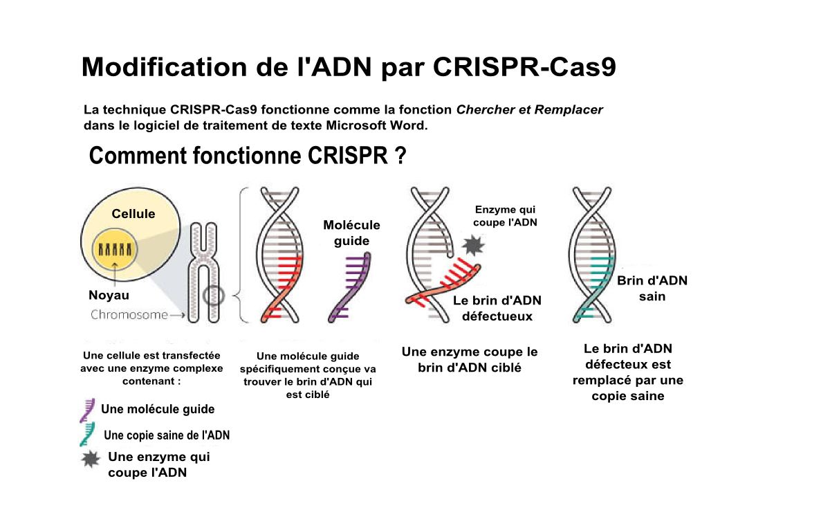 Comment fonctionne la modification de gène CRISPR-Cas9