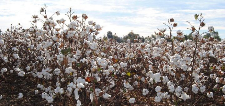 Une haute cour de justice en Inde vient de considérer que le brevet sur leBollgard-II, une variété de coton OGM, est illégal. La décision est vraiment, mais vraiment stupide avec le risque de décapiter la recherche sur les OGM et une grande partie des bienfaits de l'agriculture en Inde.