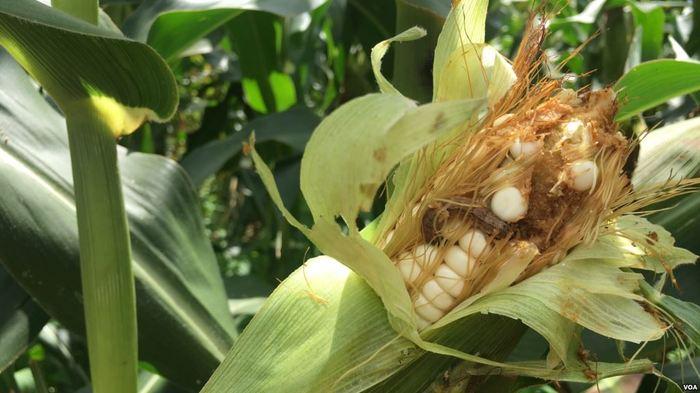 La voracité du Légionnaire d'automne est telle qu'une seule chenille peut dévorer un épis entier de maïs en quelques jours