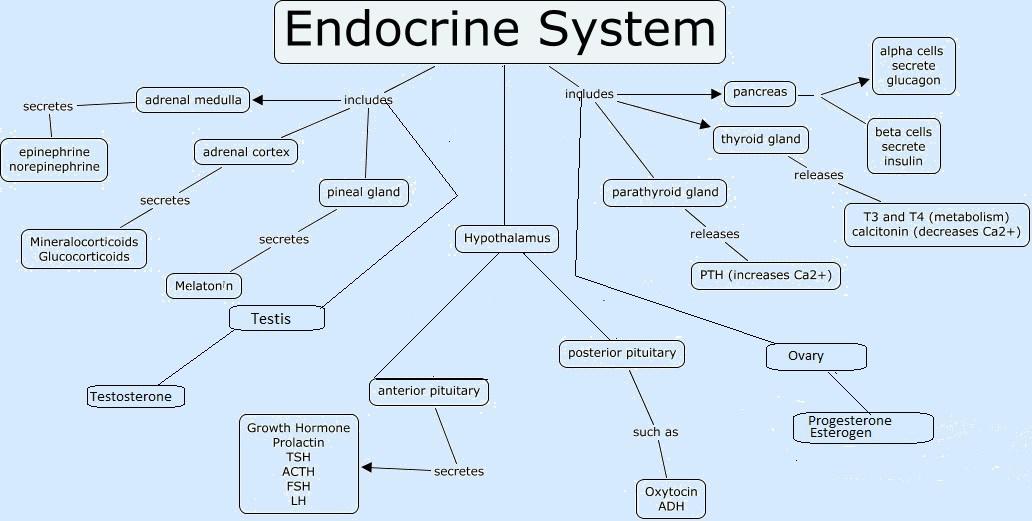 Le système endocrinien et son rôle dans la production des différentes hormones - Crédit : https://ramneetkaur.com/endocrine-system-mnemonic/
