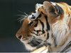 Tigre3 thumb