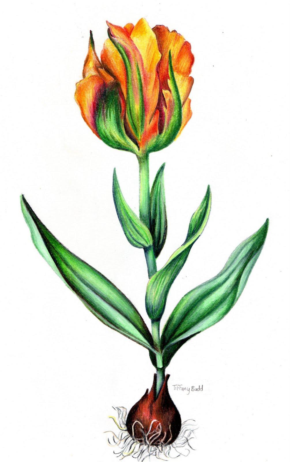 tulipoman237a la fiebre de los tulipanes ii rankia