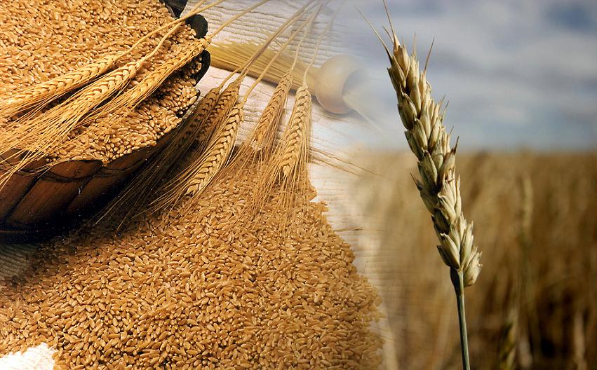Futuros del trigo