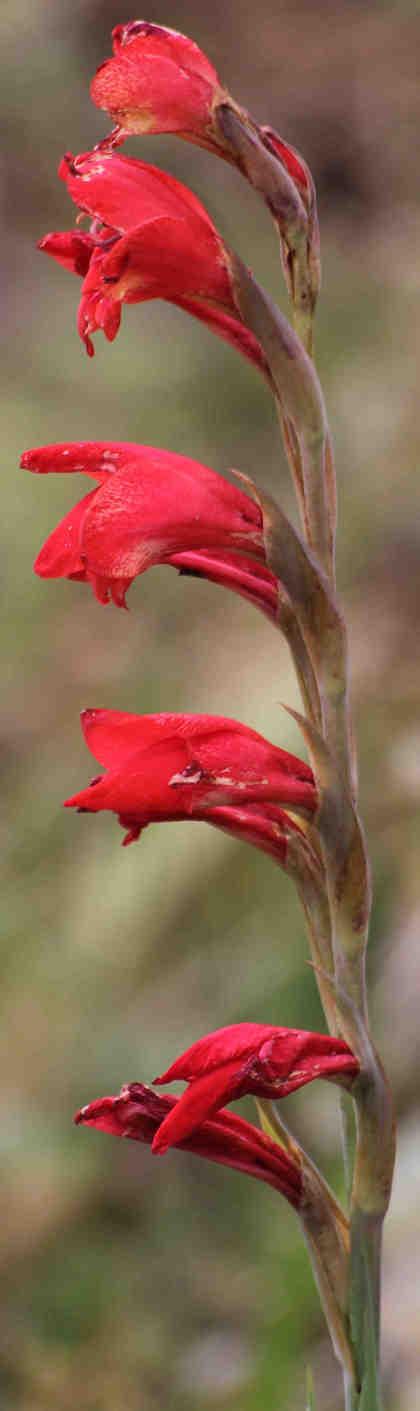Flores foro