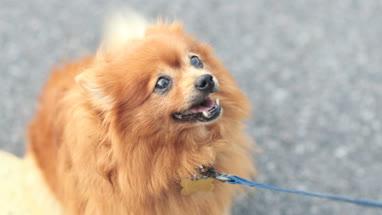 Pomeranian dog on lead