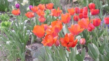 CU FO Tulip flowers in garden / Breda, Noord-Brabant, Netherlands