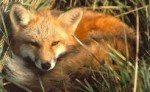 Fox Empowerment Reiki