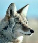 Coyote Reiki Empowerment