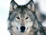 Wolf Empowerment Reiki Attunement
