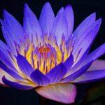 Lotus Healer Reiki
