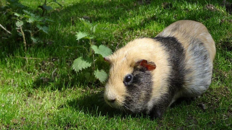 Guinea Pig Empowerment