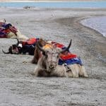 Yak Animal Meditation Empowerment