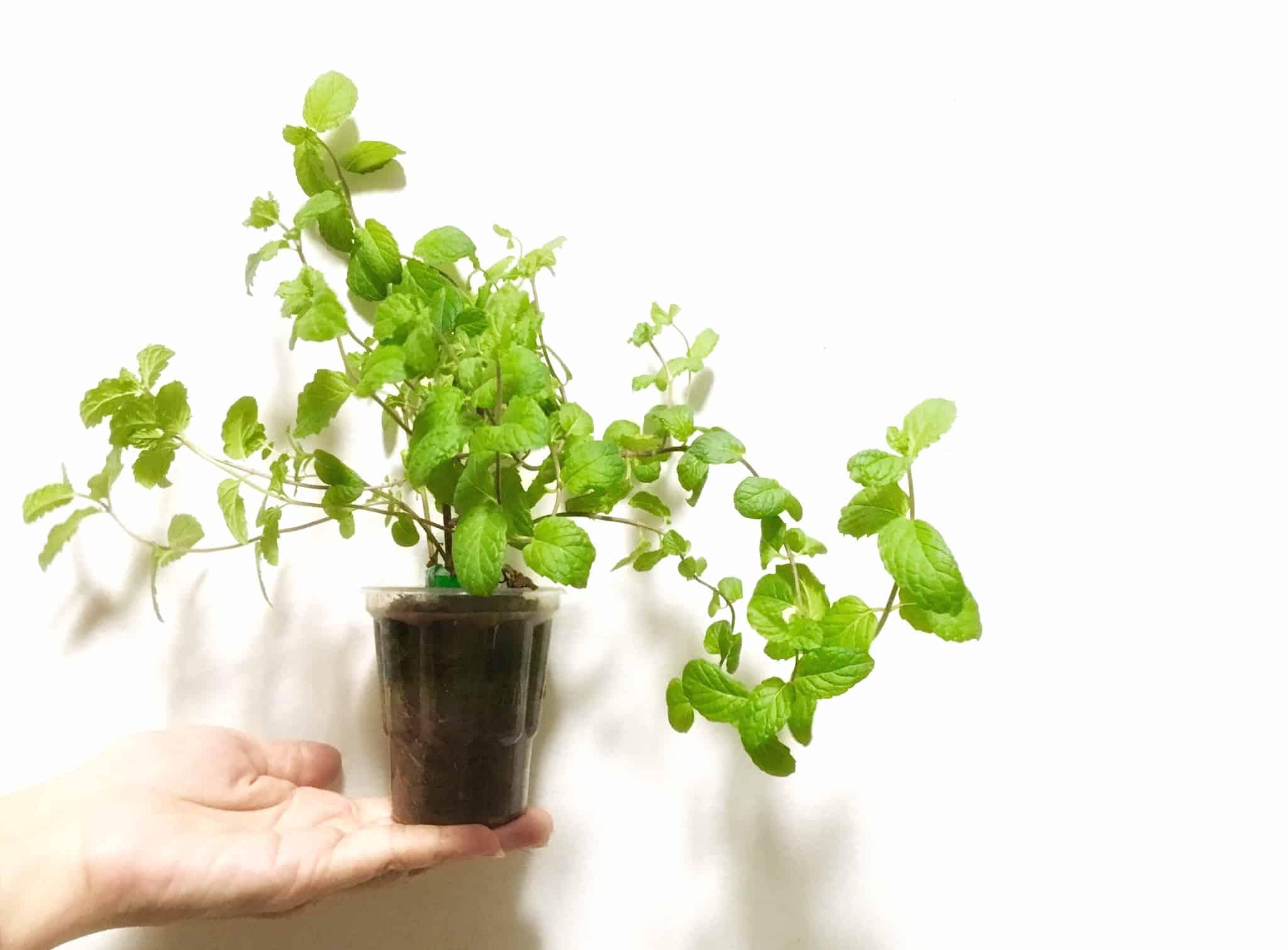 planta dentro de um copo de plástico