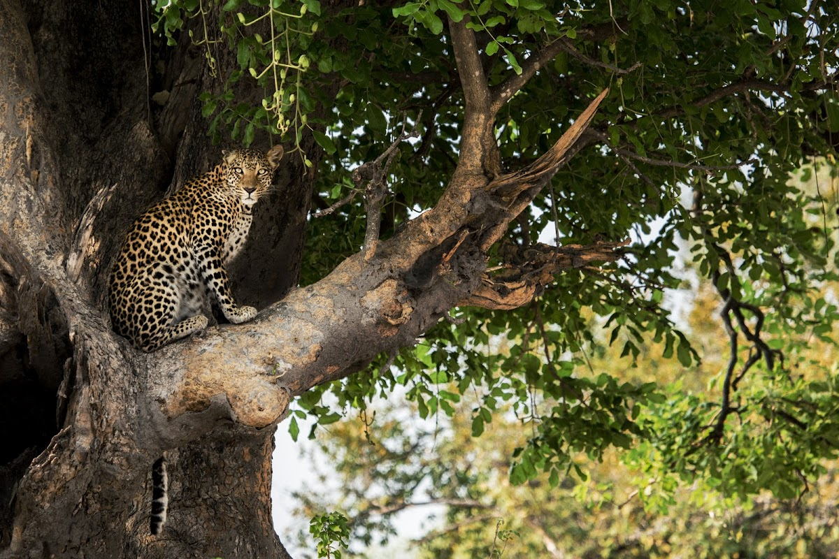Leopard sitting in a tree at Mombo Camp, Botswana