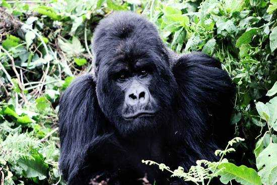 There's no scarier moment than meeting a silverback head on