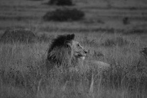 Lion dans les hautes herbes à Madikwe