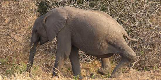 Baby Elephant with bad leg