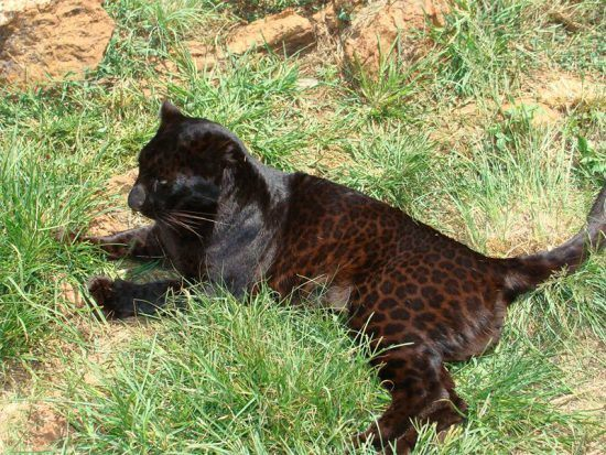 A melanistic leopard in South Africa