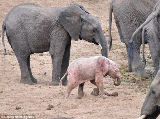 An albino elephant calf with her mother