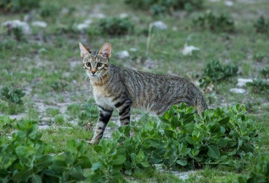 The rare African Wild Cat in Namibia