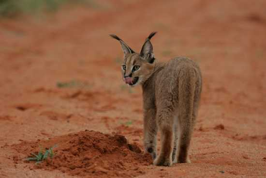 Spot a wide variety of animals in the Tswalu environment
