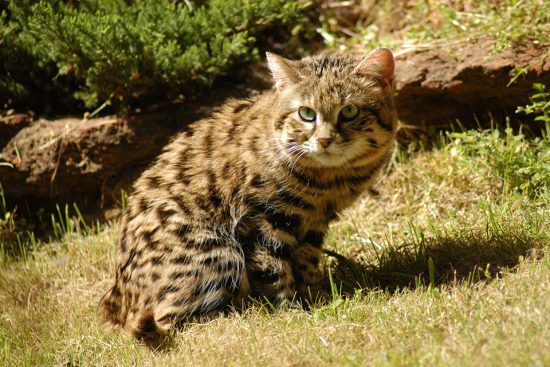 The smallest of the wild cats; Black footed Cat