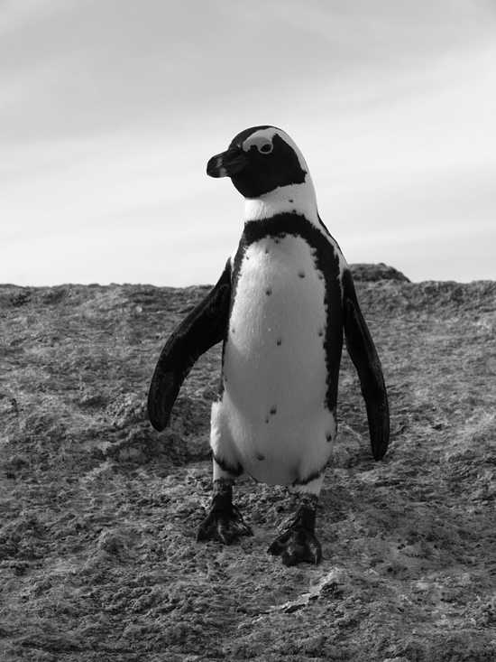 Cape Town is a great place to spot penguins
