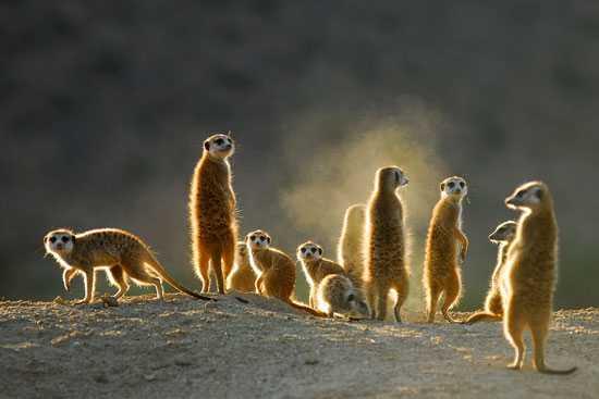 Spot a mob meerkats in the wild