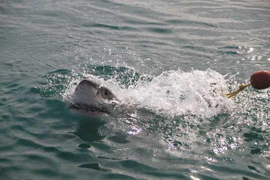 The Marine Big 5 includes shark