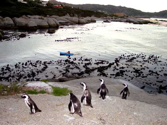 Kayak through the water with penguins by your side at Boulders Beach