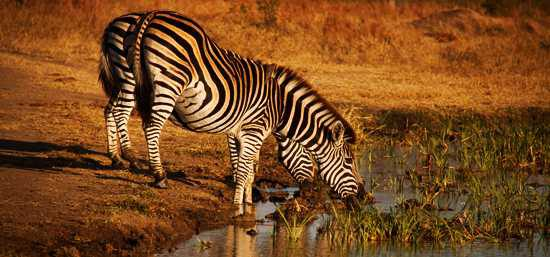 Zebra drinking at Singita Ebony Lodge