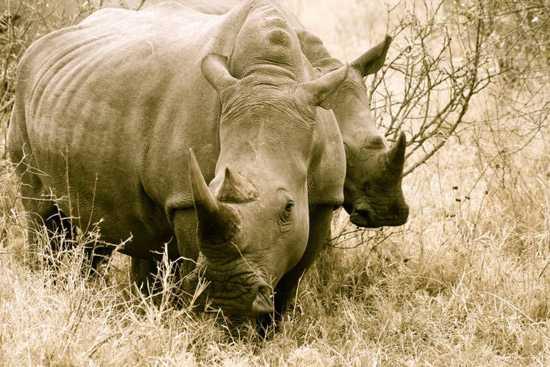 Spot black and white rhinos at Royal Malewane