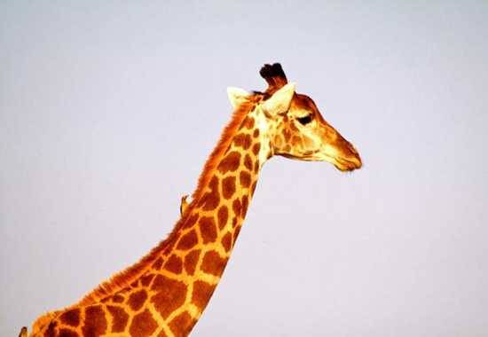 Spot giraffe at Royale Malewane