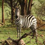 Spot wild zebra in herds