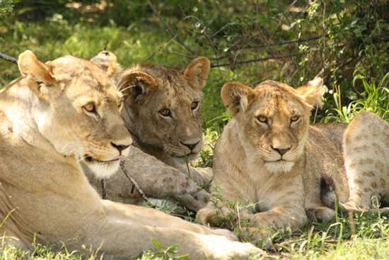 See packs of lions