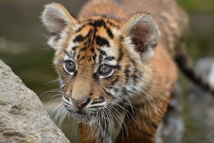 Leben Tiger In Afrika Wir Haben Die Antwort Rhino Africa Blog