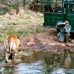In the African wild with big cats