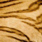 Tiger's striped pelt