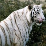 White tiger licking its lips
