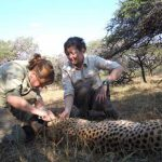 Volunteers Mel & Luka assisting with collaring a Cheetah
